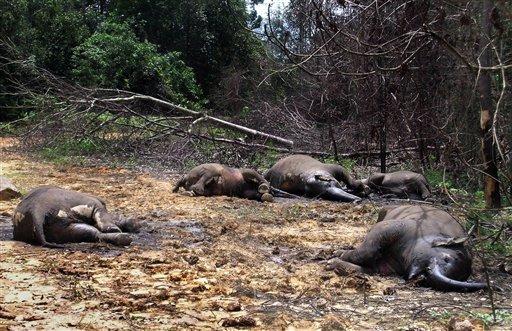 UK_Myrkytettyja_norsuja_Indonesiassa