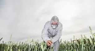uk_GMO_wheat