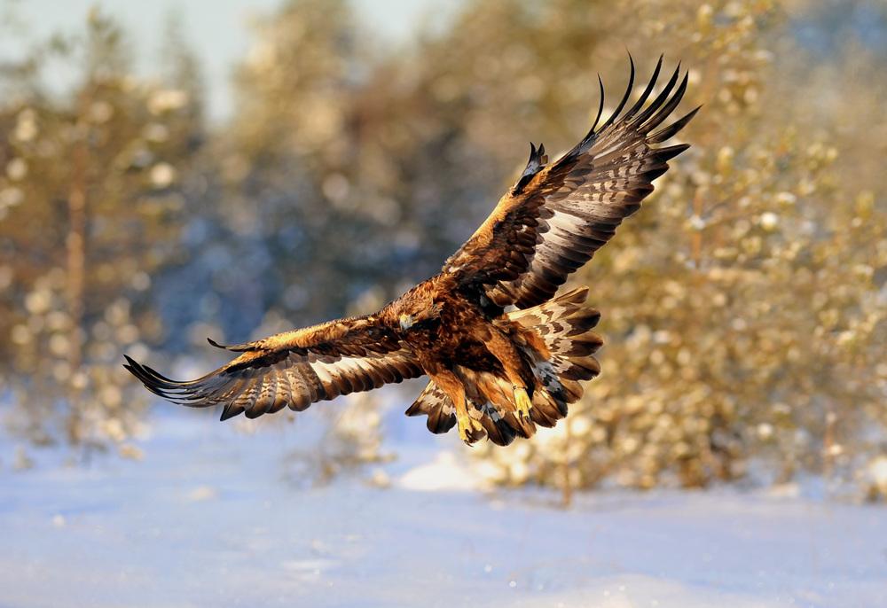 Eläinlajiemme uljaimpiin kuuluva maakotka koko komeudessaan.