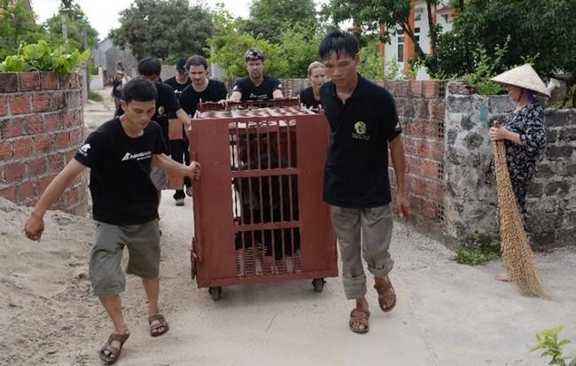 Animals Asian työntekijät siirtämässä pelastettua karhua viime tiistaina.
